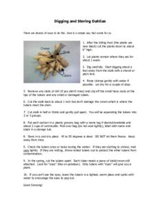"""Digging and Storing Dahlias There are dozens of ways to do this…here is a simple way that works for us. 1. After the killing frost (the plants are now black) cut the plants down to about 6"""" high."""